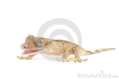 Spotted Crested Gecko