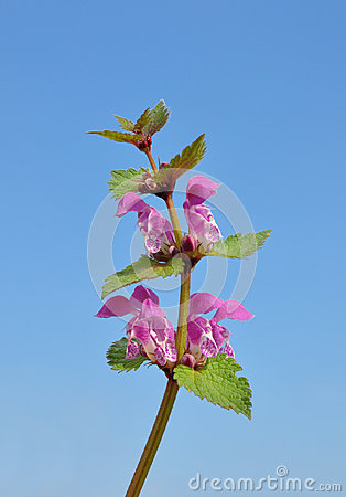 Spotted Deadnettle (Lamium maculatum)