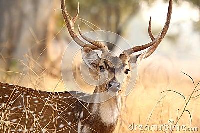 Spotted deer at Tadoba Tiger Reserve