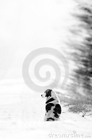 Free Spotted Dog Sitting On A Snowy Country Lane Stock Photography - 48945652