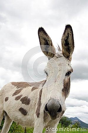 Spotted donkey
