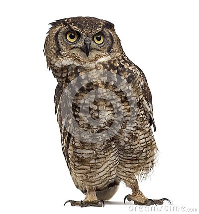 Free Spotted Eagle-owl - Bubo Africanus Royalty Free Stock Photo - 63254765