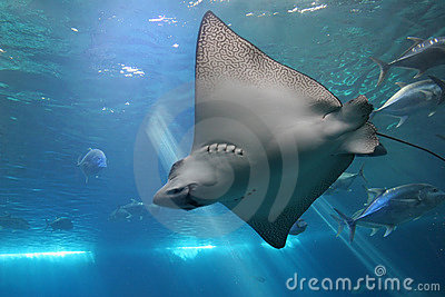 Spotted Eagle Ray and Giant Tr