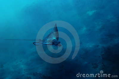 Spotted Eagle ray in Red Sea