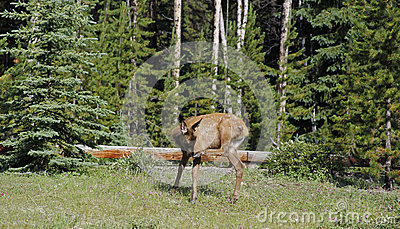 Spotted elk calf fawn scratching nose with hoof