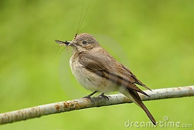 Spotted flycatcher with pray