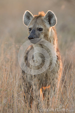 Spotted Hyaena, (Crocuta crocuta), South Africa
