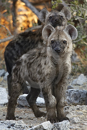 Spotted Hyaena cubs - Namibia