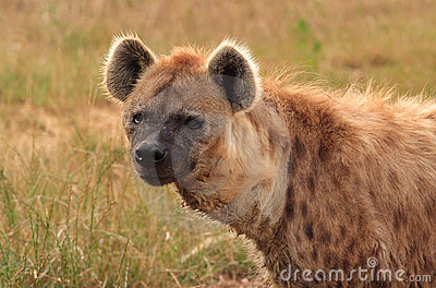 Spotted Hyena #2