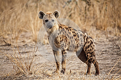 Spotted Hyena Stock Photography - Image: 25864232