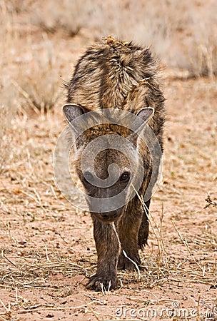 Spotted Hyena (Crocuta crocuta) skulking