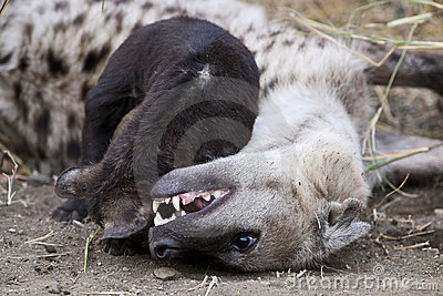 Spotted Hyena cub and its mother
