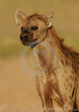 Spotted hyena portrait
