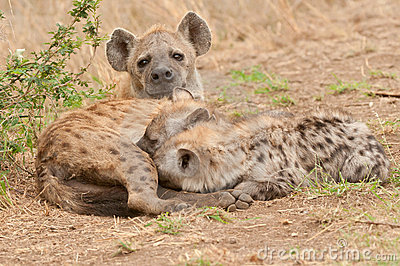 Spotted hyena with pups