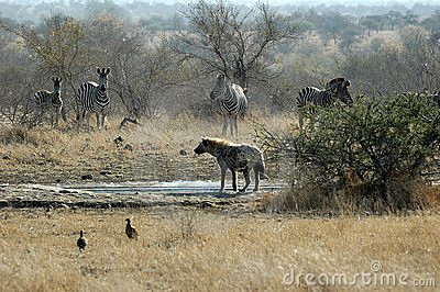 Spotted Hyena with zebra