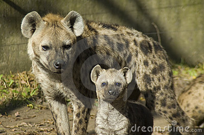 Spotted hyenas (Crocuta crocuta)