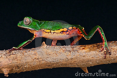 Spotted monkey tree frog
