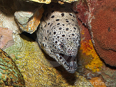 Spotted Moray Eel in Hiding