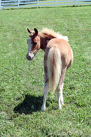 Spotted palomino foal