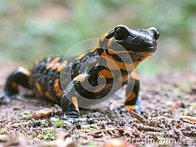 spotted salamander to go hunt