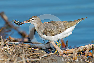 Spotted Sandpiper With Crab