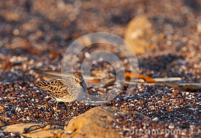 Spotted Sandpiper on sand