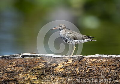 Spotted Sandpiper bird Okefenokee Swamp Georgia birding
