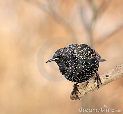 Spotted starling