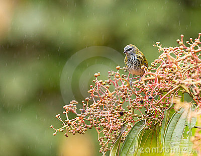 A Spotted Tanager under the rain