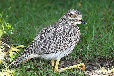 Spotted thick-knee bird or dikkop