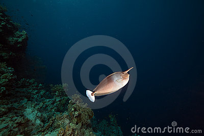 Spotted unicornfish in the Red Sea.