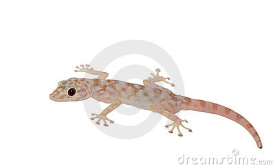 Spotty gecko