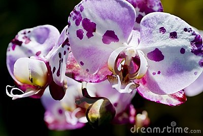 Spotty Orchid