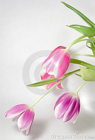 Spray of Tulips