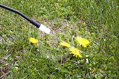 Spraying Dandelions