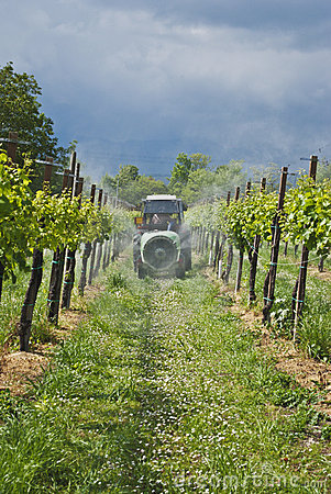 Spraying the grapes