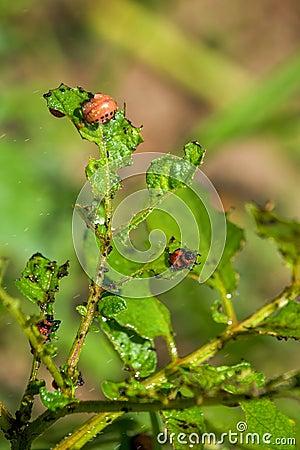 Free Spraying Insecticide On Colorado Potato Beetle Bugs Larvas Stock Photos - 55096823