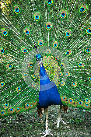 Spread of a peacock