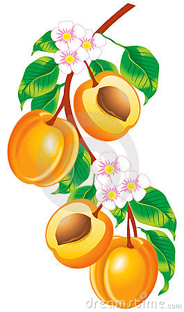 Sprig of apricots