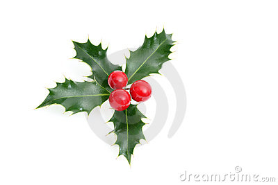 Sprig of European holly