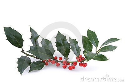 The sprig of European holly (Ilex aquifolium)