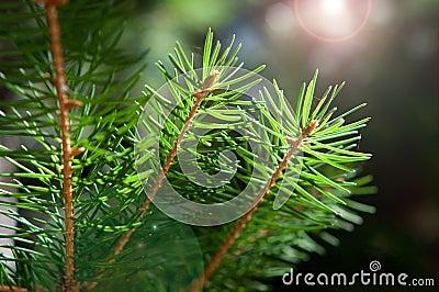 A sprig of fir-tree
