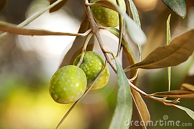 Sprig with green olives, shallow focus