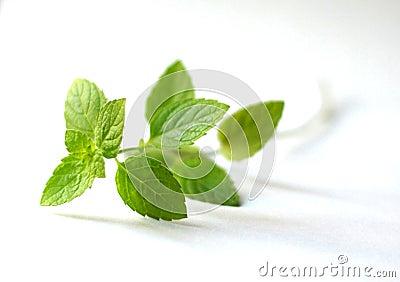 Sprig of mint leaves