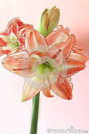 Free Spring Amaryllis Stock Photos - 669403