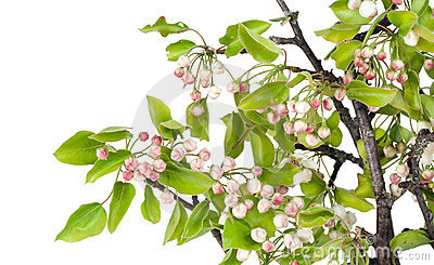 Spring apple-tree with pink buds