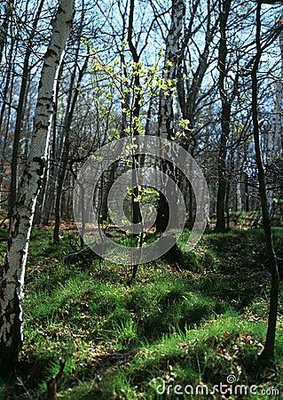 Spring awakening in the forest
