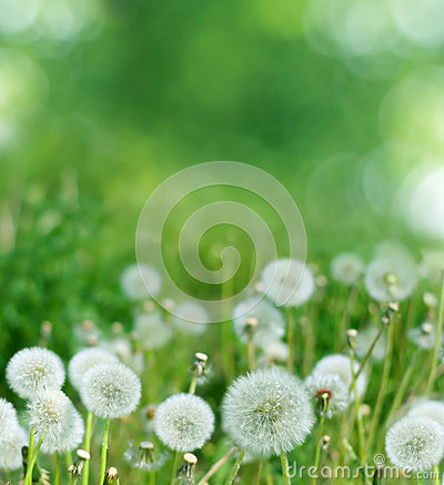 Free Spring Background With Dandelion Stock Photography - 29384402