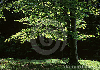 Spring beech in back lichting