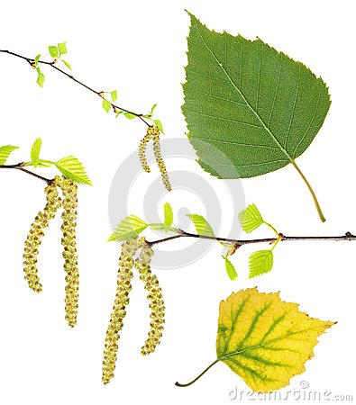 Free Spring Birch Branches With Catkins, Green Summer And Yellow Autumn Leaf Isolated On White Royalty Free Stock Photos - 103071228